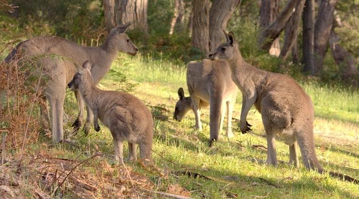 Grampians Australia  City pictures : Grampians, Grampians National Park, Kangaroos, Kangaroos in Australia ...