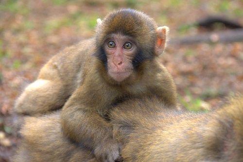 macaque monkeys, macaque monkeys facts,macaque monkeys park, macaque monkeys in austria