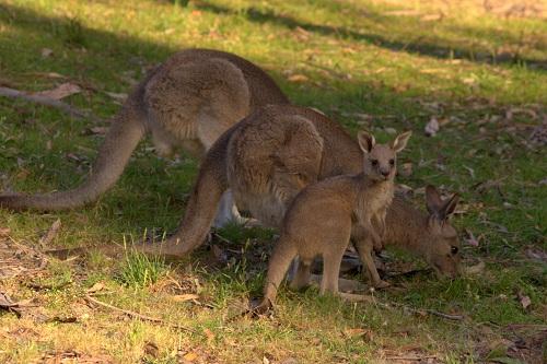 Grampians, Grampians National Park, Kangaroos, Kangaroos in Australia, Australia travel, travel to Australia
