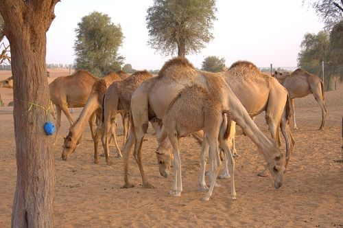 bedouins, camel farm, camel milk, uae travel