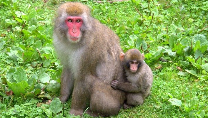 macaque monkeys, macaque monkeys facts,macaque monkeys park, macaque monkeys in austria